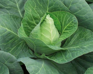 Paul Brophy Produce in Naas wholesale Pointed Cabbage